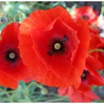 Red Papaver Poppies