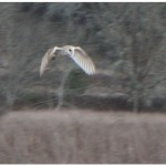 Barn owl flying over a field at dusk