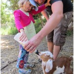 Bottle feeding baby goats